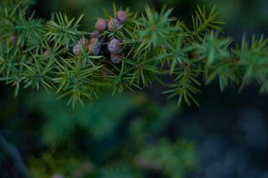 Cyprus Botanicals Juniper Berry   Soli Gin