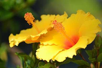 Cyprus Botanicals Hibiscus   Soli Gin